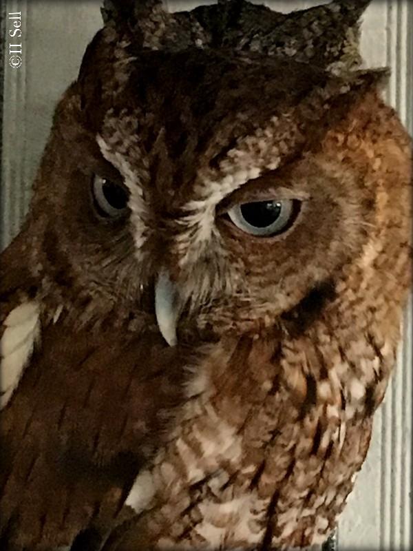 IMG_1972_owl-closeup